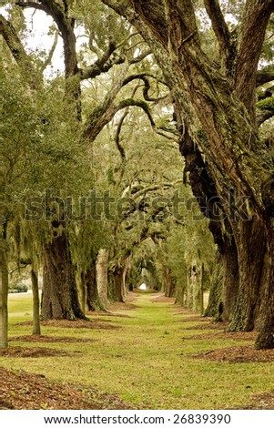Massive old southern oak trees draped with spanish moss - stock photo