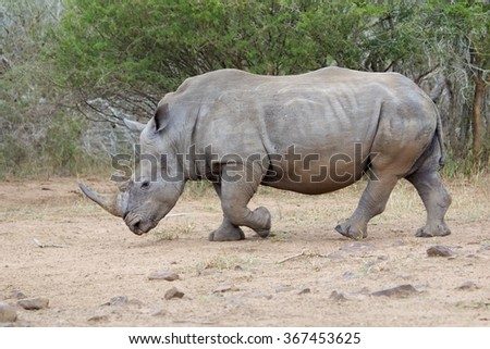massive rhino at kruger