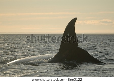 Massive southern right whale - stock photo