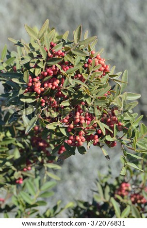 Mastic Tree with Red Berries - Pistacia lentiscus - stock photo