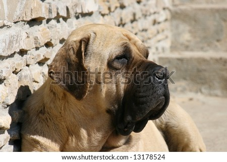 Mastiff 4 - stock photo