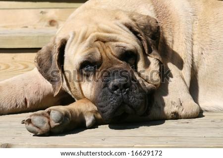 Mastiff 07 - stock photo
