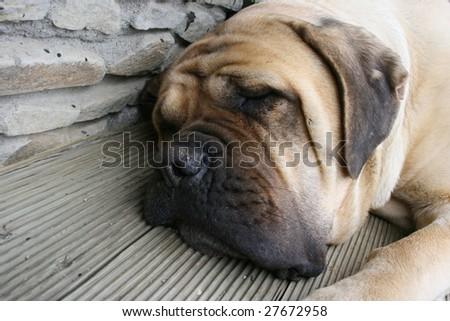 Mastiff dog - stock photo