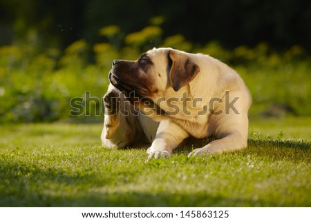 Mastiff is scratching behind his ear - copy space - stock photo