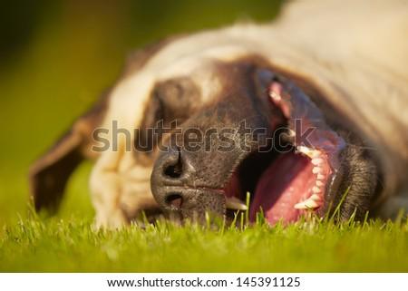 Mastiff is sleeping in meadow - stock photo