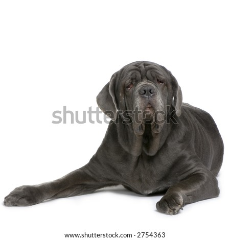 Mastiff lying down in front of a white background - stock photo