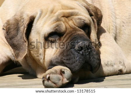 Mastiff portrait - stock photo