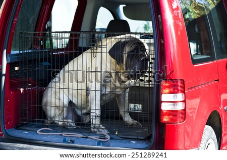 Mastiff sitting in a car trunk and wants to travel  - stock photo