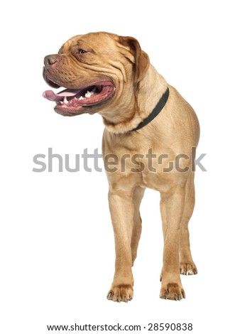 Mastiff (1 year old) in front of a white background - stock photo