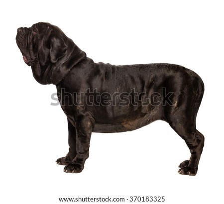 mastino neapolitano isolated on white - stock photo