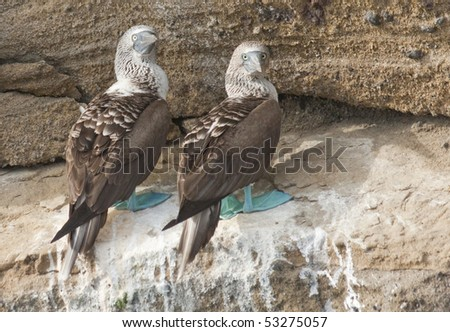 Mated Pair of Blue-Footed Boobies on Galapagos Islands - stock photo