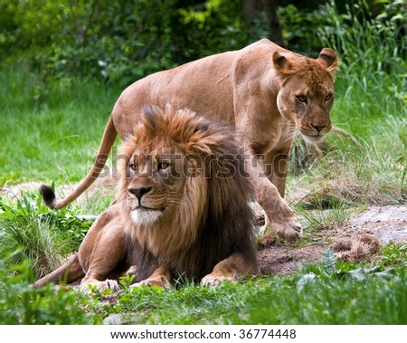 Mated pair of lions at the Bronx Zoo - stock photo
