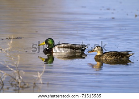 Mated pair of Mallards in beautiful water, with reflections - stock photo
