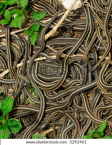 Mating Ball of Snakes:  each spring thousands of Red Sided Garter Snakes (thamnophis sirtalis parietalis) emerge from limestone caves, males pull each other away by their tails in an attempt to mate. - stock photo