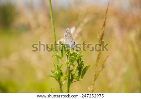 Mating Common Blue (Polyommatus Icarus)  - stock photo