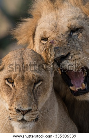 Mating couple of lions. Moremi National Park, Black Pools area.