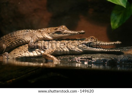Mating crocodiles...