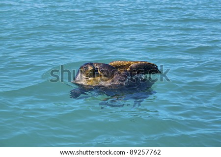 Mating game of two green sea turtles in Galapagos - stock photo