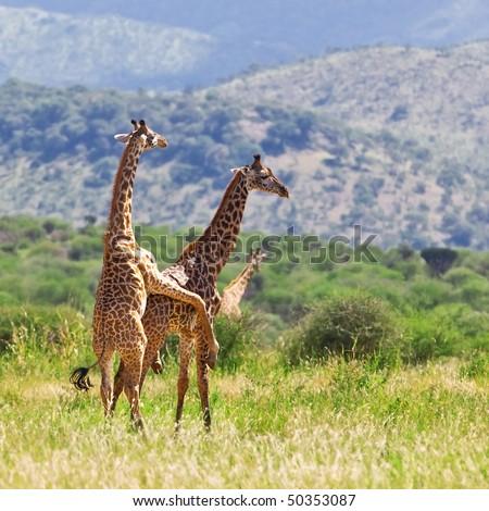 Mating giraffes (Giraffa camelopardalis) in Tarangire National Park, Tanzania - stock photo