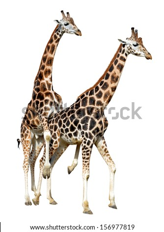Mating giraffes isolated on white background