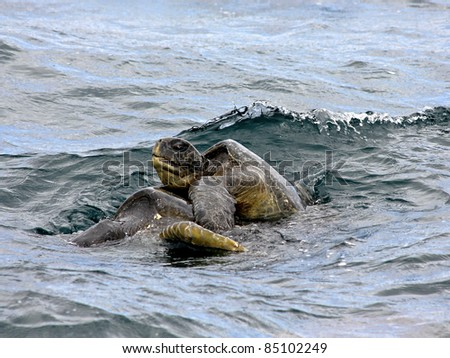 Mating Green Sea Turtles (Chelonia mydas) in the Galapagos Islands - stock photo