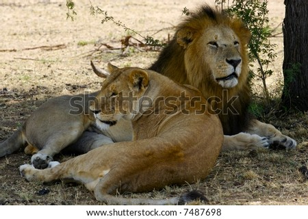 Mating Lions - stock photo