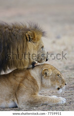 Mating Lions in the Serengeti