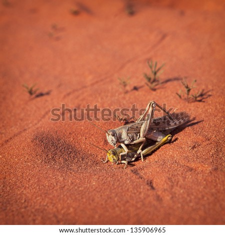 Mating locusts insect in the red desert