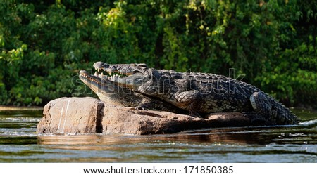 Mating Nile crocodile (Crocodylus niloticus). Two crocodiles , having opened from a heat to graze, sit on one big stone in the middle of sources of Nile.  - stock photo