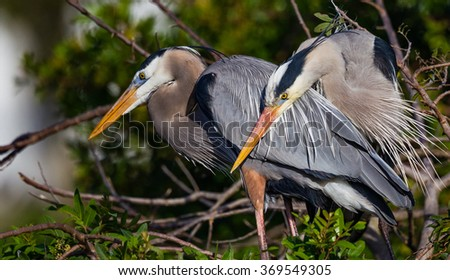 Mating pair of Great blue herons in rookery