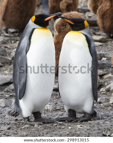 Mating pair of king penguins in breeding colors - stock photo
