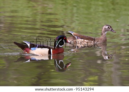 Mating pair of Wood Ducks in pond - stock photo