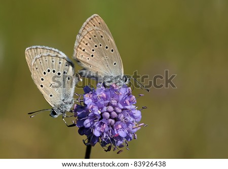 Mating Phengaris teleius/Phengaris arion butterfly (Large Blue) with a great soft background on a purple flower