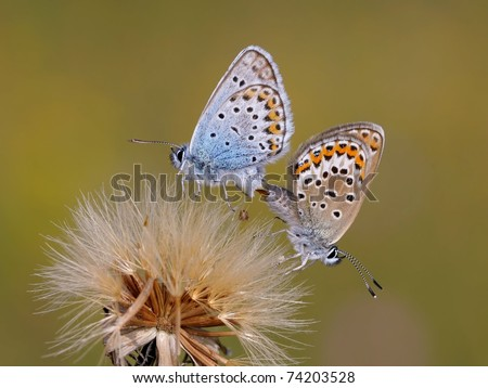 Mating Silver Studded Blue Butterflies on top of a horse-flower