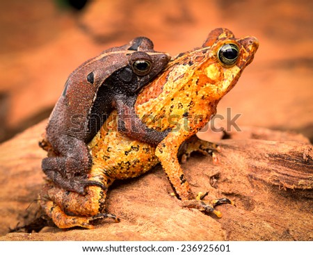 mating tropical toads Rhinella typhonius a small amphibian of the tropical amazon rain forest of Brazil Peru, Bolivia, Ecuador - stock photo