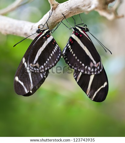 Mating Zebra Longwing Butterflies (Heliconius charithonia). - stock photo