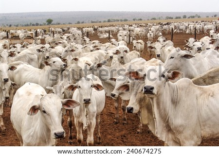 Mato Grosso, Brazil, September 30, 2004: A group of Nelore cattle herded in confinement in a cattle farm in Mato Grosso state, Brazil