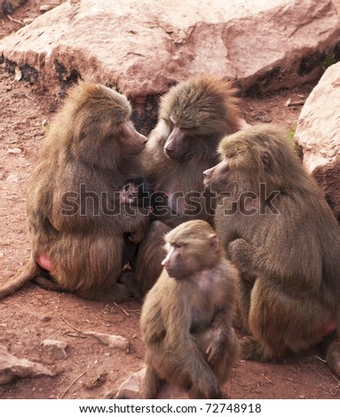 matriarchal group of hamadryas baboons in a protective group with a newborn baby. - stock photo