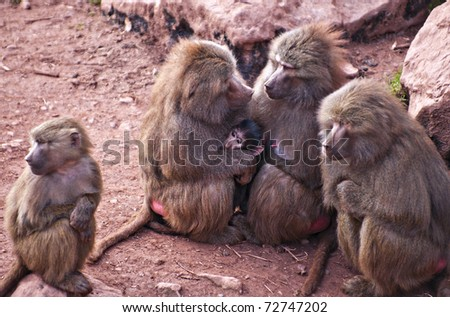 matriarchal group of hamadryas baboons in close attendance to protect a newborn - stock photo