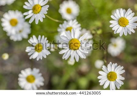 Matricaria recutita (Camomile) background - stock photo