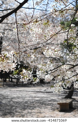 Matsumoto castle park fulfilled with cherry trees # 2