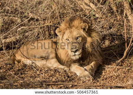 Mature African Lion (Panthera leo) Lying in Early Morning Sunlight - Sabi Sands Game Reserve, South Africa