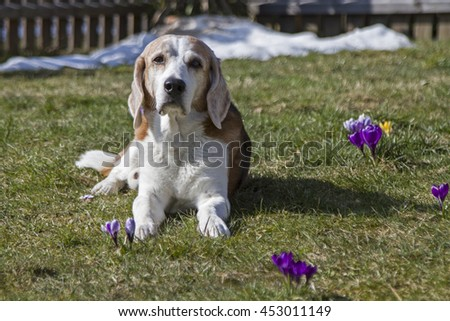 Mature Beagle dog enjoying the sun on green spring meadow - stock photo