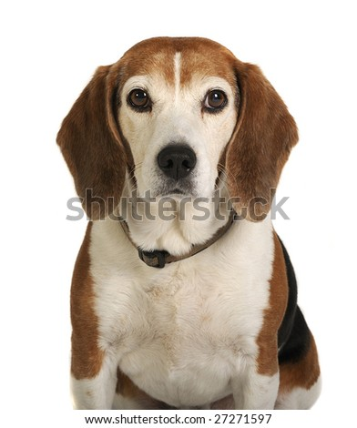 Mature Beagle looking straight on with white background.