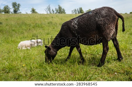Mature black ewe grazing in the meadow next to a dike while a small white lamb is resting in the fresh grass on a cloudy day in springtime. - stock photo