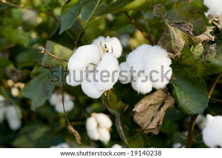 Mature cotton in field, ready for harvest with bowls and leaves etc - stock photo