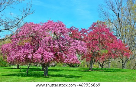 Mature flowering crabapple trees in a green meadow.