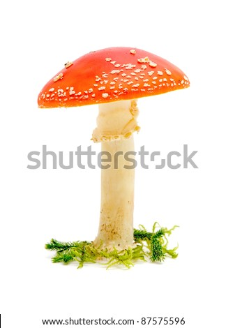 Mature Fly agaric or fly Amanita mushroom isolated on a white background