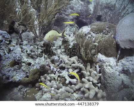 Mature french grunt swimming in a coral reef among other fish - stock photo