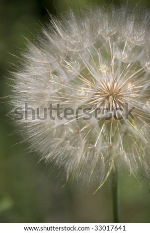 Mature globe seed head of the Salsify plant against a mottled green background. - stock photo
